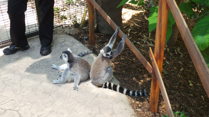 Wild Animal Park Lemurs