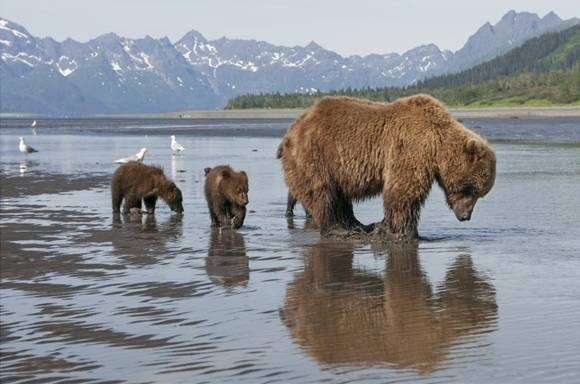 Disneynature's BEARS : Donations made to National Parks Opening Week!