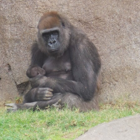 New Gorilla Habitat & New Baby at San Diego Zoo Safari Park