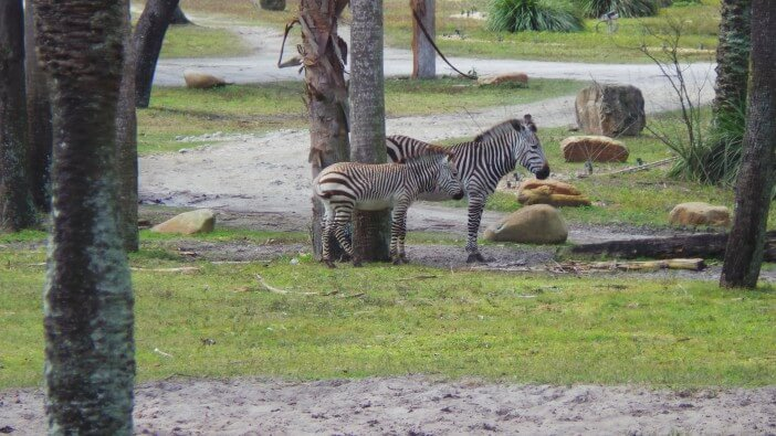 zebra-outside-our-window